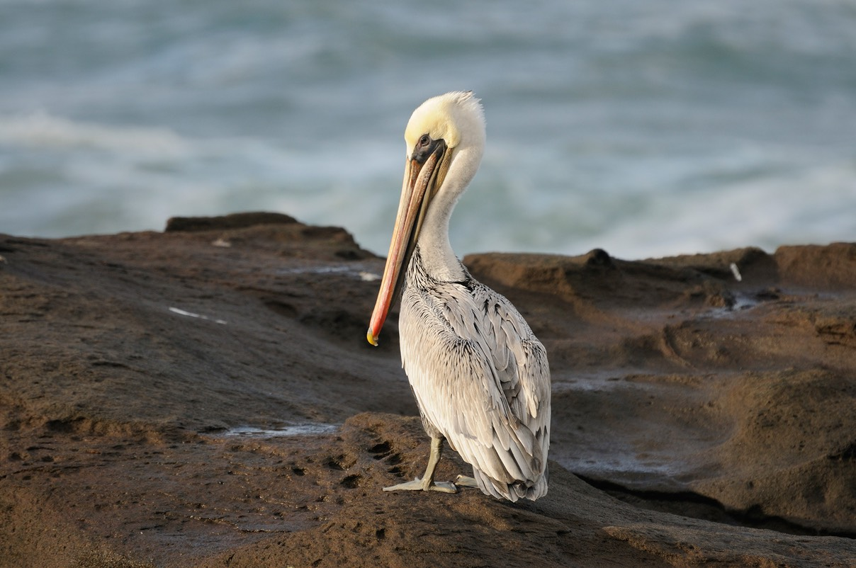 Brown Pelican WEB