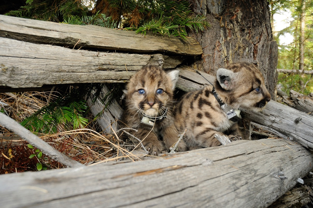 Cougar Kittens WEB
